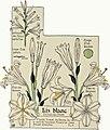 Etude de la plante - p.20 fig.17 - Lis blanc, fleur.jpg