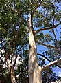 Eucalyptus brookeriana - upper branch bark.jpg