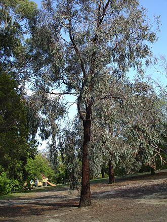 Eucalyptus sideroxylon - E. sideroxylon