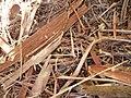 Eucalyptus viminalis Labill. (AM AK296281-4).jpg