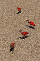 Eudocimus ruber (Ibis rouge) - 404.jpg