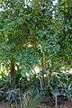 Eugenia brasiliensis - Naples Botanical Garden - Naples, Florida - DSC09650.jpg