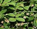 Euonymus verrucosa 2.jpg