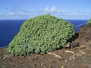 Euphorbia balsamifera - Image: Euphorbia balsamifera (Garafía) 01