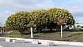 Euphorbia candelabrum 001.JPG