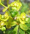 Euphorbia dendroides kz1.JPG
