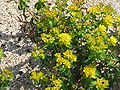 Euphorbia epithymoides01.jpg