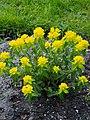 Euphorbia epithymoides Wilczomlecz pstry 2017-05-01 01.jpg