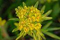 Euphorbia esula - kibe piimalill.jpg