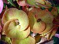 Euphorbia flower show 1.JPG