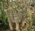 Euphorbia handiensis 02 ies.jpg