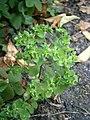 Euphorbia peplus RHu.JPG