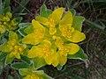 Euphorbia polychroma sl6.jpg