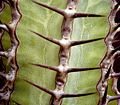 Euphorbia virosa 4 ies.jpg