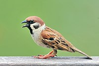 Eurasian Tree Sparrow.jpg