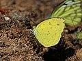 Eurema hecabe from Melagiri TN IMG 6239.jpg