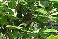European Robin (Erithacus rubecula) - Oslo, Norway.jpg