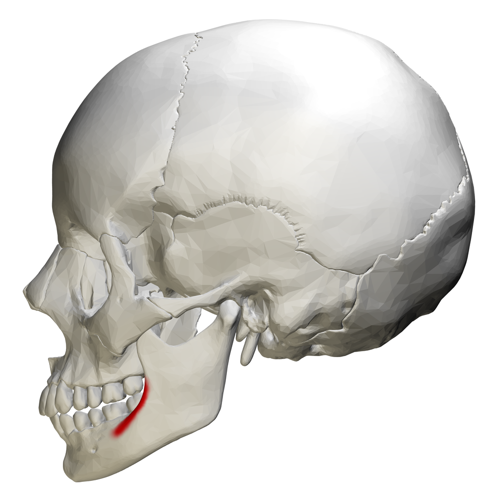 File:External oblique line of mandible - skull - lateral ...