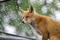 Ezo Red Fox (32877792680).jpg