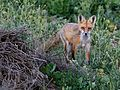 FOX, RED (5-2-07) attascadero waste tx plant, slo co, ca -4 (570339583).jpg