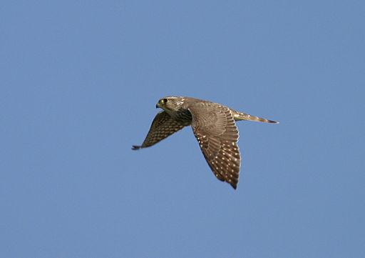 Falco columbarius Bandon Marsh NWR