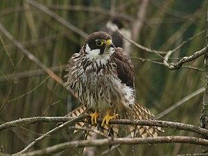 Falco subbuteo from Kadzidlowo.jpg