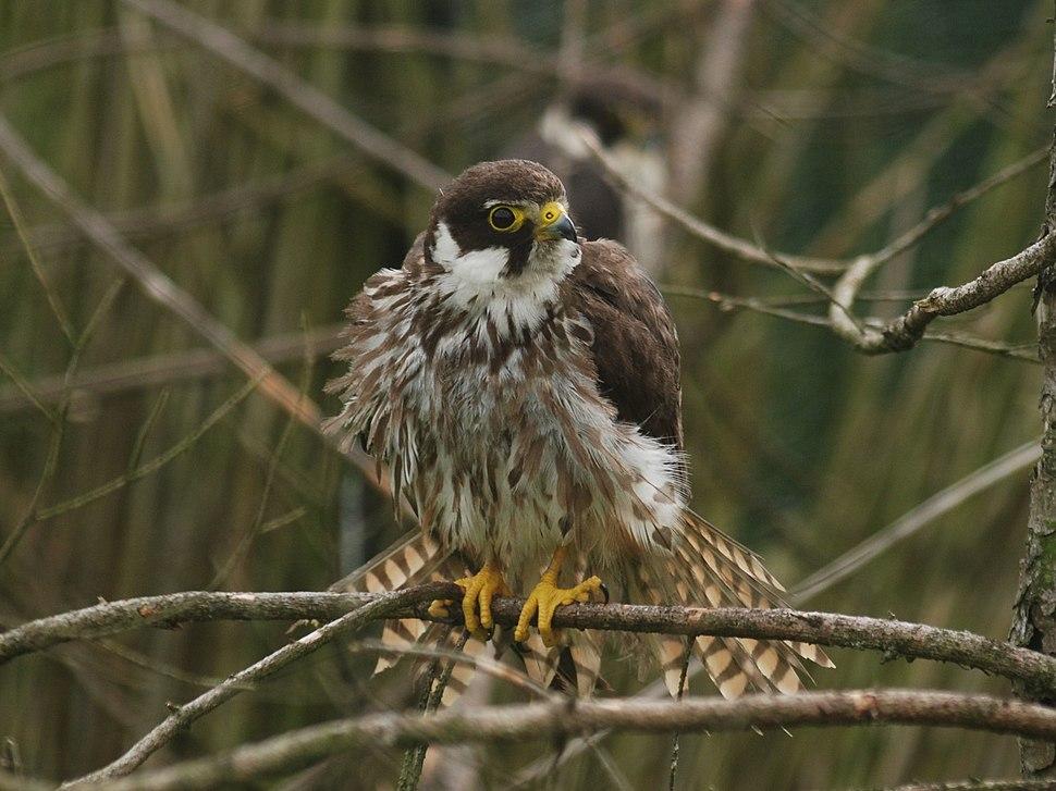 Falco subbuteo from Kadzidlowo