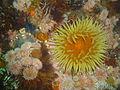 False plum anemone at Smits Reef DSC00222.JPG
