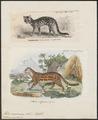 Felis macroura - 1700-1880 - Print - Iconographia Zoologica - Special Collections University of Amsterdam - UBA01 IZ22100192.tif
