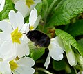 Female Hairy-footed Flower-bee. Anthropora plumipes - Flickr - gailhampshire.jpg