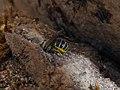 Female Heriades bee 02.jpg