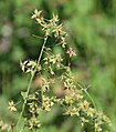 Fendlers meadow rue female plant.jpg
