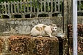 Feral cat in Corgao, Goa, India-1.jpg