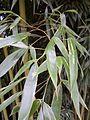 Feuillage de bambou bamboo leaf VAN DEN HENDE ALAIN CC BY SA 40 04 BG PDP -1445103087gUK.jpg