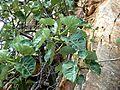 Ficus abutilifolia, loof, Roodekrans.jpg