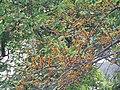 Ficus exasperata - Brahma's Banyan fruits at Peravoor 2018 (1).jpg