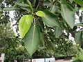 Ficus virens at National Zoological Park Delhi - Visit during WCI 2016 (3).jpg