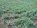 Field of Vigna unguiculata.jpg