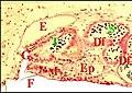 Filistata insidiatrix, région épigastrique.jpg