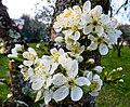 Fiori di Prugno in marzo (Prunus domestica) 1.jpg