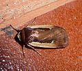 Flame Shoulder. Ochropleura plecta - Flickr - gailhampshire (2).jpg