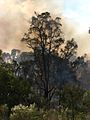 Flaming tree 1 - Flickr - Highway Patrol Images.jpg