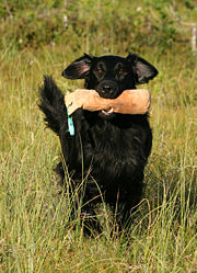 Flat Coated Retrievers retrieves well on land or in the water.