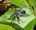 Flesh Fly. Sarcophaga sp. (33897345302).jpg