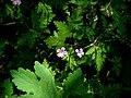 Fleur violette 3.jpg