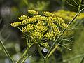 Fleurs de Fenouils sauvages-3-cliche Jean Weber (23568759952).jpg