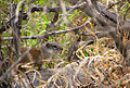 Flickr - Furryscaly - Franklin's Ground Squirrel.jpg