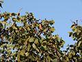 Flickr - João de Deus Medeiros - Hymenaea stigonocarpa (1).jpg