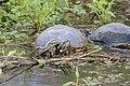 Flickr - ggallice - Turtles.jpg