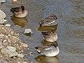Flock of Anas crecca sleeping in the pond - 2.jpg